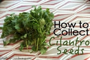 How To Collect Cilantro Seeds From Your Garden