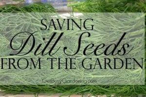 Saving Dill Seeds From The Garden