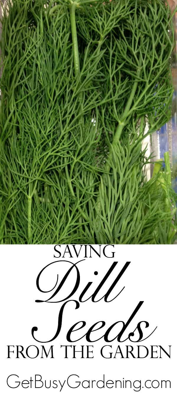 Learn how to collect and store dill seeds from your garden. It's easy to collect your own free dill seeds from the garden to grow year after year.