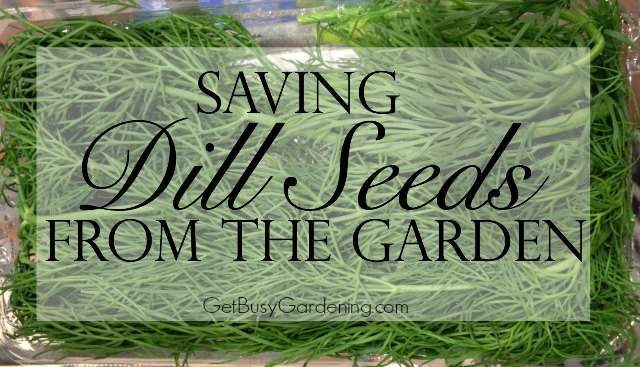 Saving Dill Seeds From The Garden