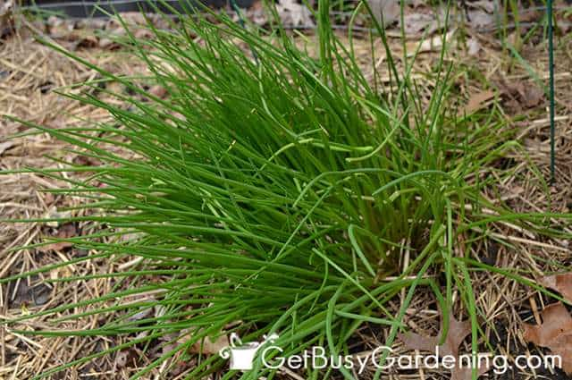 Tender New Growth On Chives