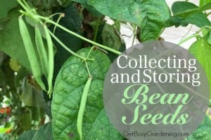 Collecting And Storing Bean Seeds