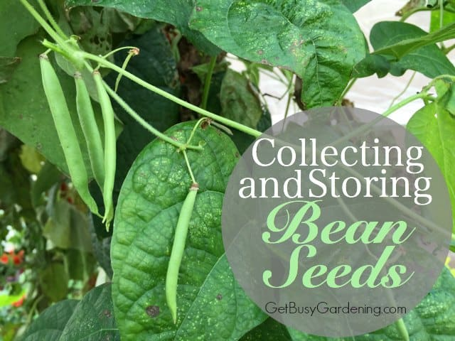 Collecting And Storing Pea Seeds