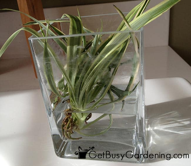 Growing A Spider Plant: 9 SPIDER PLANT CUTTINGS 3 DIFF VARIATIONS: Reverse