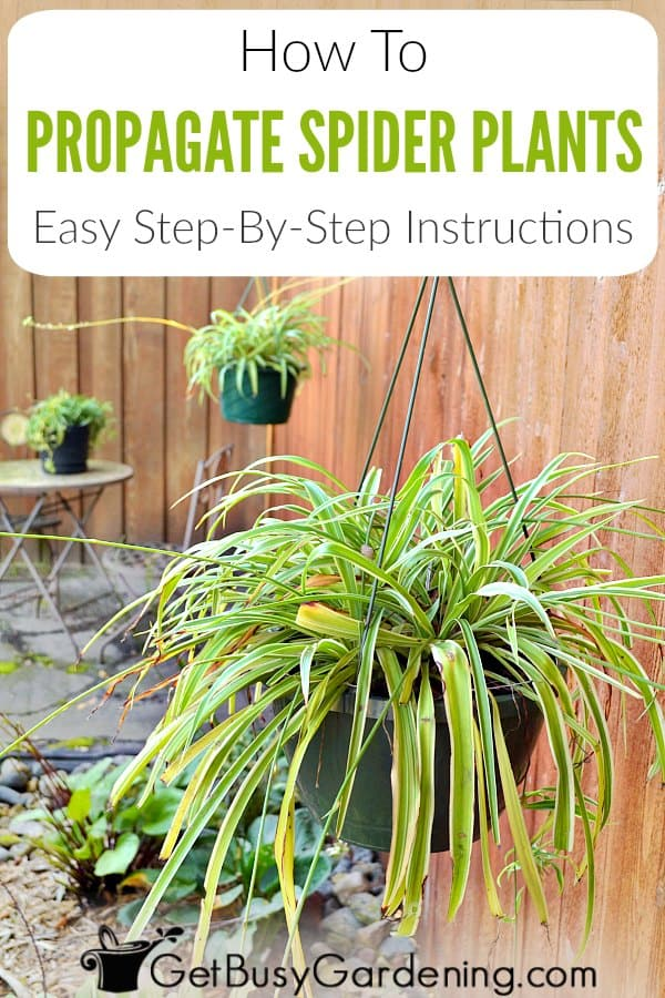 Spider plants are easy to propagate. Learn about the different spider plant propagation methods (splitting spider plants and rooting spider plant babies), and exactly how to propagate spider plants step-by-step.