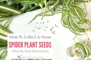 Collecting and Sowing Spider Plant Seeds