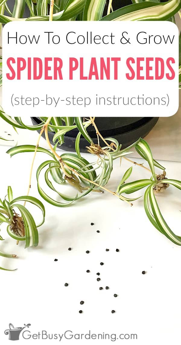 Growing spider plant houseplants from seed is easy. Here are detailed instructions for how to collect and grow spider plant seeds, and care for spider plant seedlings.