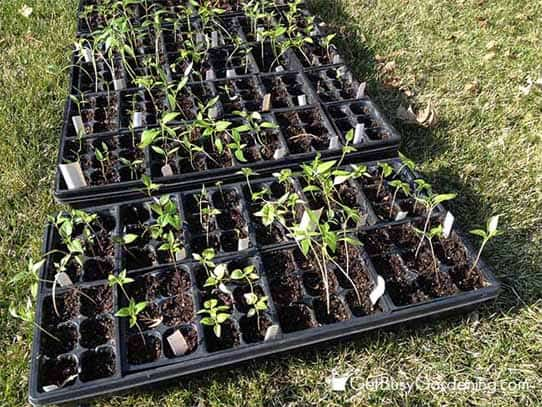 Gradually Move Seedlings Into Full Sun