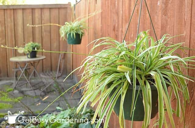My spider plants outside for the summer