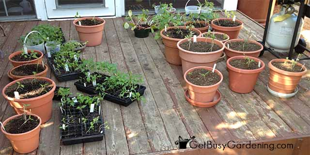 Start Hardening Off Seedlings In Shade
