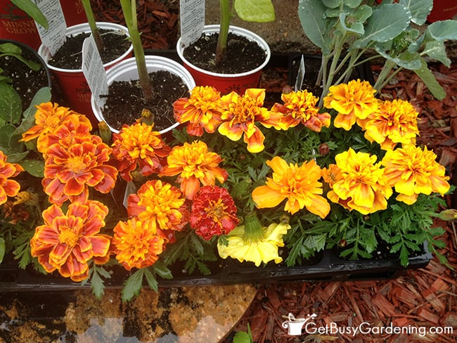 Marigolds With Everything