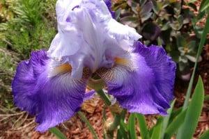 IrisesInFullBloom
