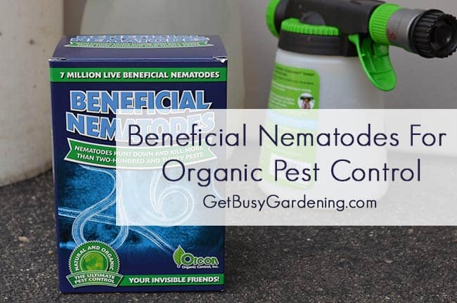 use beneficial nematodes for organic pest control in your