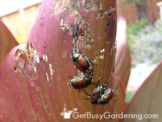 Japanese Beetles Destroying Canna Leaf