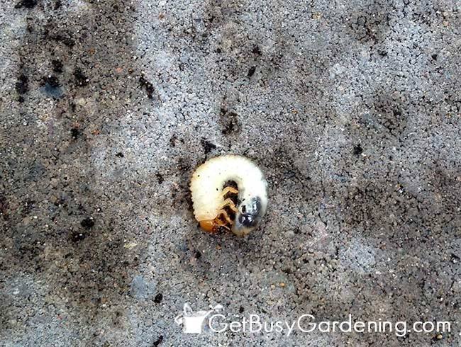 Japanese Beetles Start As Grubs