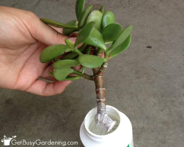 Dip Jade Plant Cutting Into Rooting Hormone