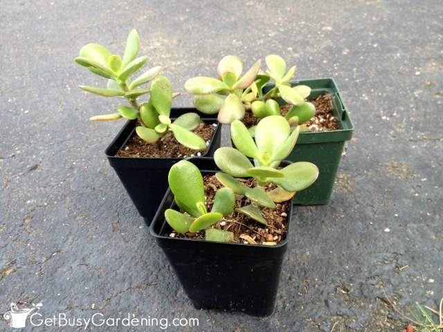Newly Propagated Jade Plants