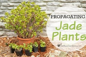 How To Propagate Jade Plants From Cuttings