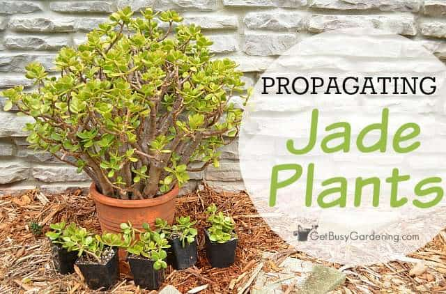 Propagating jade plants