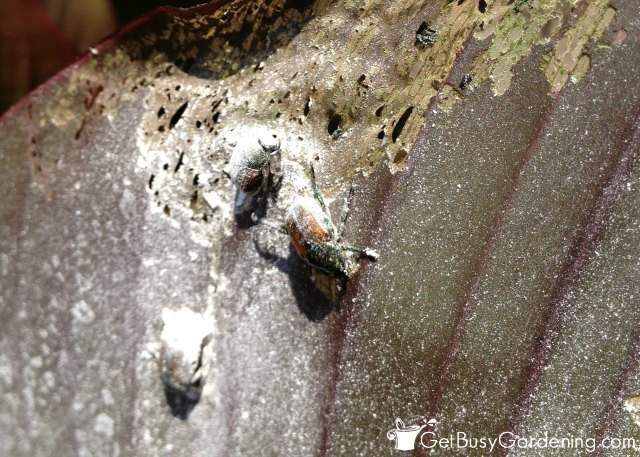 Using eggshell powder on Japanese beetles