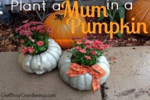 Plant a Mum in a Pumpkin – Step by Step Instructions