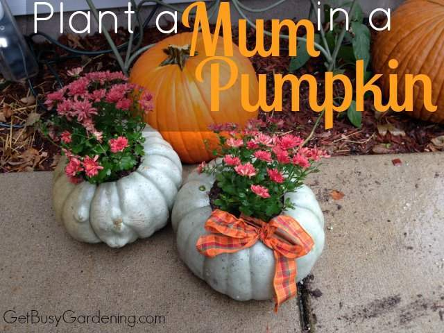 How To Plant A Mum In A Pumpkin