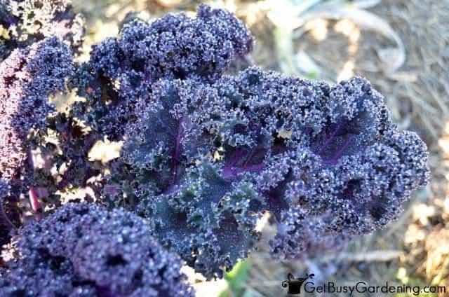 Kale Tastes Better After Frost