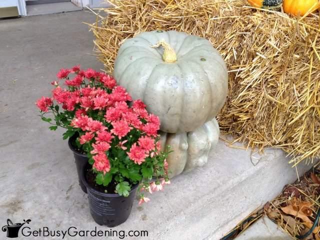 Planting Mums In Pumpkins
