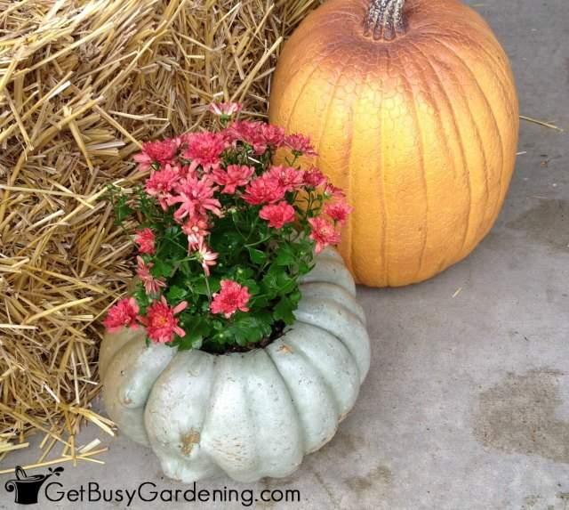 Pumpkin Mum Planter