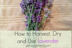 How to Harvest, Dry and Use Lavender
