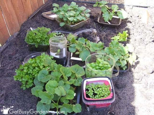 Winter sown seedlings ready to transplant into the garden