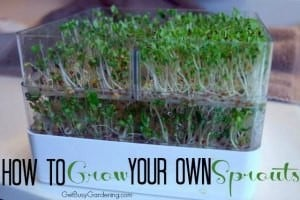 How To Grow Your Own Sprouts
