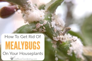 How To Get Rid Of Mealybugs On Your Houseplants, For Good!