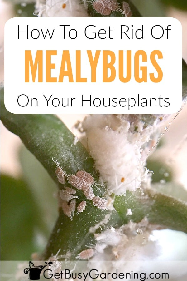 Mealybugs are tiny white bugs on houseplants, and most commonly look like white fuzzy stuff on plants leaves and stems. Getting rid of mealybugs on houseplants can be tough, but it's not impossible! Follow these organic mealybug treatment methods to kill them, also learn how to prevent mealybugs from ever coming back!