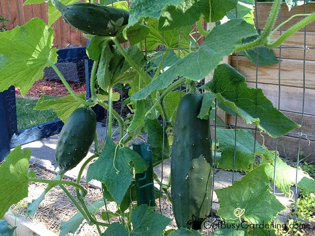 Cucumber vines trained to grow vertically on a trellis