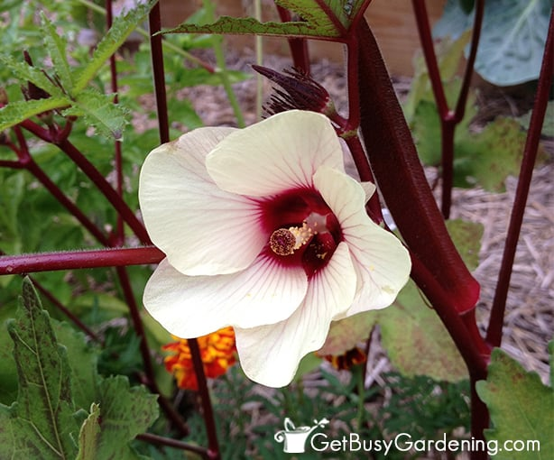 Red okra is has lovely flowers and dark red fruit