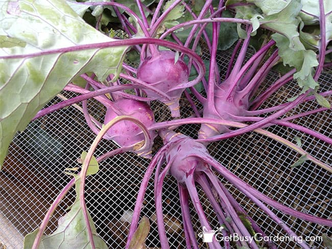 Purple kohlrabi is colorful and beautiful too
