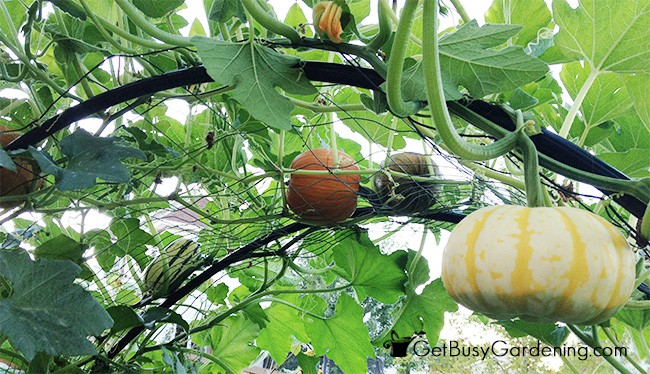 Squash hanging down from an arch trellis