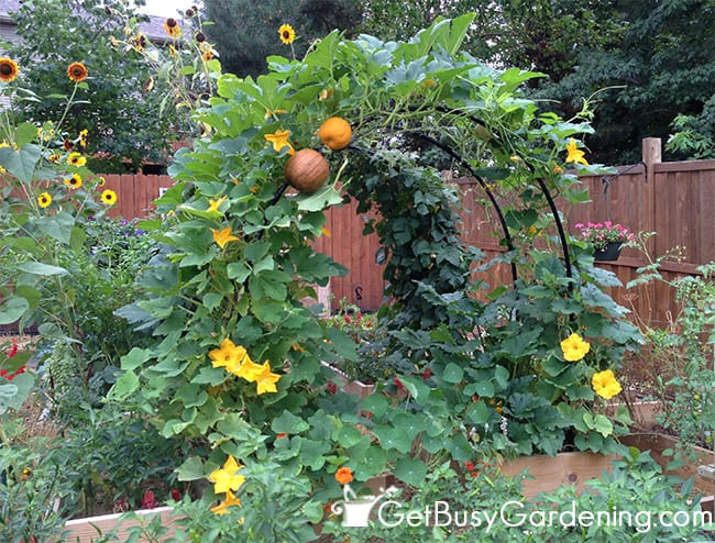Squash Growing Vertically On Arch