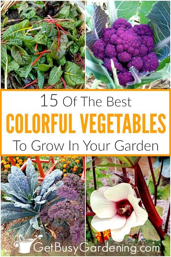 Growing colorful vegetables in your garden is fun and beautiful! Stop planting the same boring crops, and spice things up by adding a rainbow of hues to your veggie garden. Many of the vegetables you already grow come in different colors, like purple Brussels sprouts, red carrots, yellow beans, white radishes, and rainbow corn. Other great options include okra plants, lettuces, kale, butternut squash, and red, yellow or white onions - plus many more!