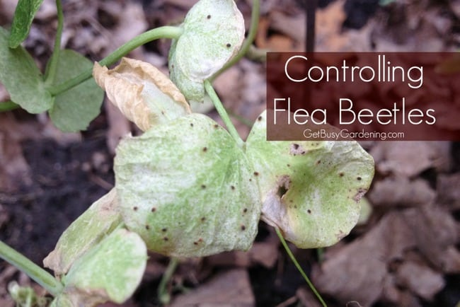 Controlling flea beetles in your garden