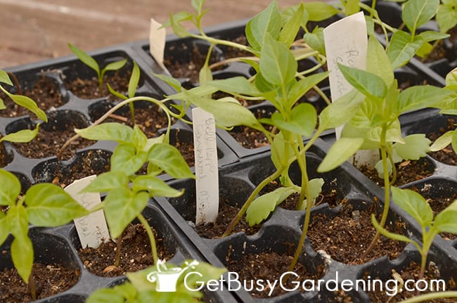 DIY plant markers used in seedling trays