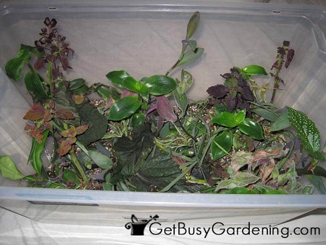 Rooted Cuttings In Propagation Box