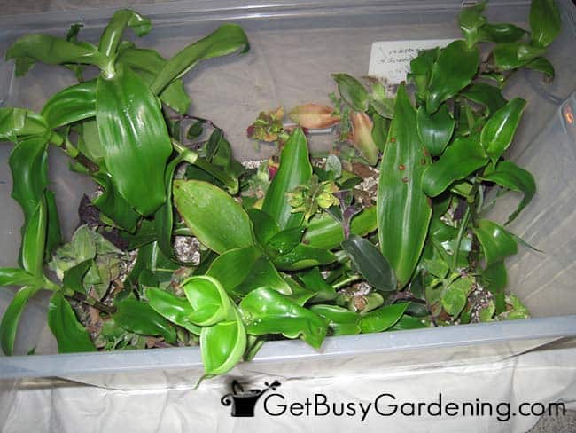 Rooting Plant Cuttings In Propagation Box