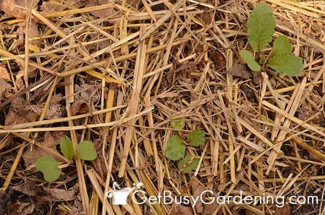 Straw Mulch In The Vegetable Garden