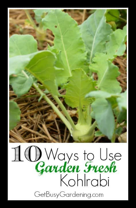 Kohlrabi is fun and easy to grow. Learn how to harvest and use garden fresh kohlrabi, and start growing and enjoying this unusual vegetable in your garden.