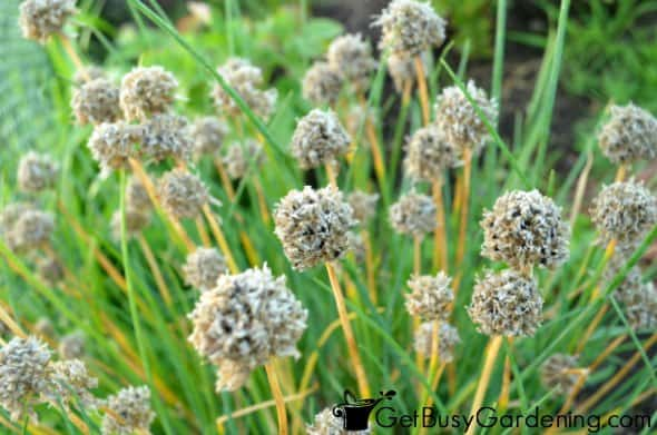 Chive Flower Heads Filled With Seeds