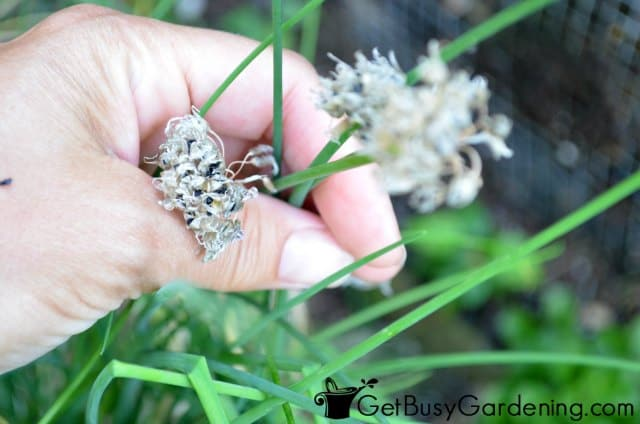 Chive Seeds Are Easy To Collect