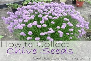 How to Collect Chive Seeds in Your Garden