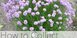 How To Collect Chive Seeds